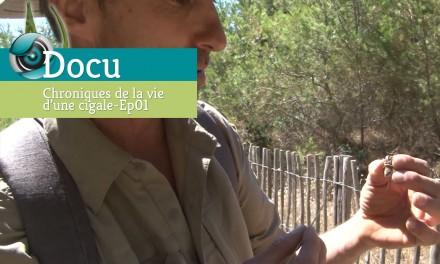 Documentaire – Chroniques de la vie d'une cigale – Ep01